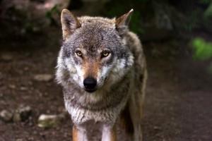 гаврош и волк